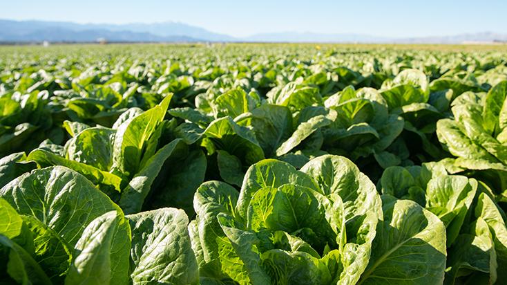 California lettuce farmers market