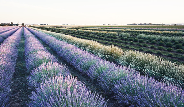 lavender picking dixon