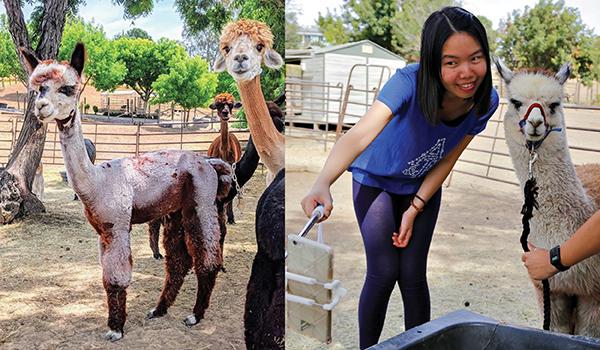 national alpaca farm days vacaville